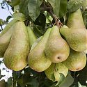 Pear - Pyrus communis 'Conference'