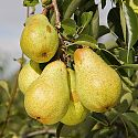 Pear - Pyrus communis 'Williams' bon Chretien'