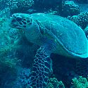 Turtle, Sh-Abb Saeed, Dahab, Red Sea, Egypt.