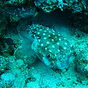Puffer Fish, The Lighthouse, Dahab, Red Sea, Egypt.