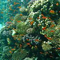 Anthias, Eel Gardens, Dahab, Red Sea, Egypt.