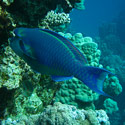 Reef fish, Islands dive site, Dahab, Red Sea, Egypt.