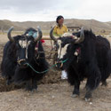Yaks pulling plough, On route from Everest to Tingri, Tibet.