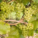 Grape - Vitis 'Phoenix'