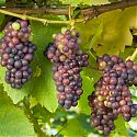 Grape - Vitis vinifera 'Pinot Noir'