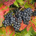 Grape - Vitis 'Rondo'