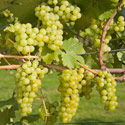 Grape - Vitis vinifera 'Bacchus'