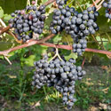 Grape - Vitis vinifera 'Dornfelder'