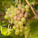 Grey mould (botrytis) on grape