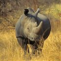 White Rhinoceros, Matobo National Park, Zimbabwe.