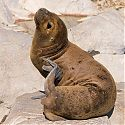 Sealion, The Beagle Channel, Argentina.