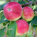 Apple - Malus domestica 'Tydeman's Early Worcester'