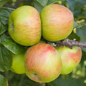 Apple - Malus domestica 'Lane's Prince Albert'