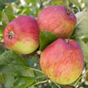 Apple - Malus domestica 'Malling Kent'