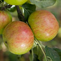 Apple - Malus domestica 'Laxton's Fortune'