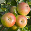 Apple - Malus domestica 'Pixie'
