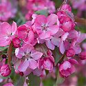 Crab Apple Blossom - Malus 'Rudolph'