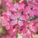 Crab Apple Blossom - Malus 'Jacques Mathon'