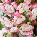 Crab Apple Blossom - Malus 'Van Eseltine'