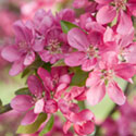 Crab Apple Blossom - Malus 'Wisley Crab'