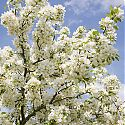 Crab Apple Blossom - Malus 'Silver Drift'