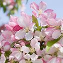 Crab Apple Blossom - Malus 'Spring Song'