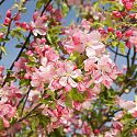Crab Apple Blossom - Malus prunifolia 'Cheal's Crimson'