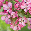 Crab Apple Blossom - Malus 'Indian Summer'
