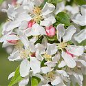 Crab Apple Blossom - Malus 'Sun Rival'