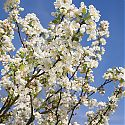 Crab Apple Blossom - Malus 'Evereste'