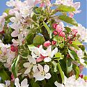 Crab Apple Blossom - Malus x zumi 'Golden Hornet'