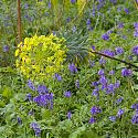 Euphorbia subsp. wulfenii surrounded by bluebells, Blakenham Woodland Garden, Suffolk
