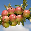 Apple - Malus domestica 'Worcester Pearmain'