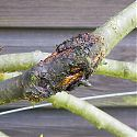 Bacterial Canker on cherry