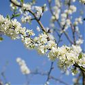 Plum Blossom - Prunus domestica 'Avalon' (on St. Julien 'A' rootstock)