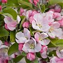 Apple blossom - Malus domestica 'Rosemary Russet'