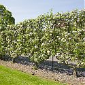 Double 'U' Cordon Apples - Malus domestica 'Brownlees Russet'