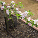 Stepover Apple on M27 rootstock - Malus domestica 'Sunset'