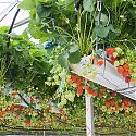 Commercial strawberry crop under glass (tabletop system)