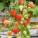 Strawberry - Fragaria x ananassa 'Sonata'