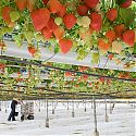 Commercial strawberry crop under glass (the tabletop system)