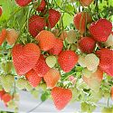 Strawberry - Fragaria x ananassa 'Sasha'