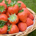 Strawberries in a basket - Fragaria x ananassa 'Sonata'