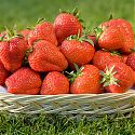 Strawberries in basket - Fragaria x ananassa 'Elsanta'