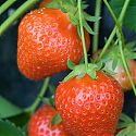 Strawberry -  Fragaria x ananassa 'Christine'