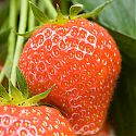 Strawberry -  Fragaria x ananassa 'Elsanta'