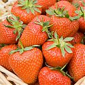Strawberries in a basket - Fragaria x ananassa 'Christine'