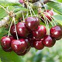 Sweet Cherry - Prunus avium 'Samba'
