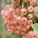 Redcurrant - Ribes rubrum 'Champagne'