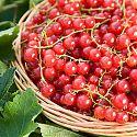 Redcurrant - Ribes rubrum 'Jonkheer van Tets'